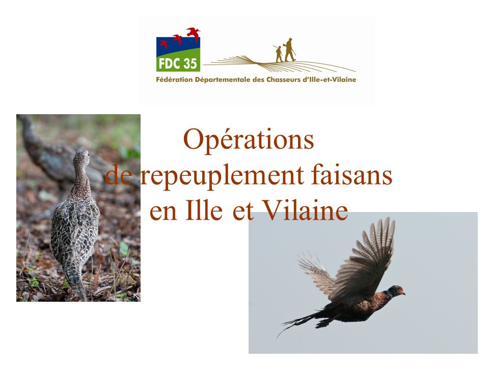 Opérations de repeuplement faisans en Ille et Vilaine
