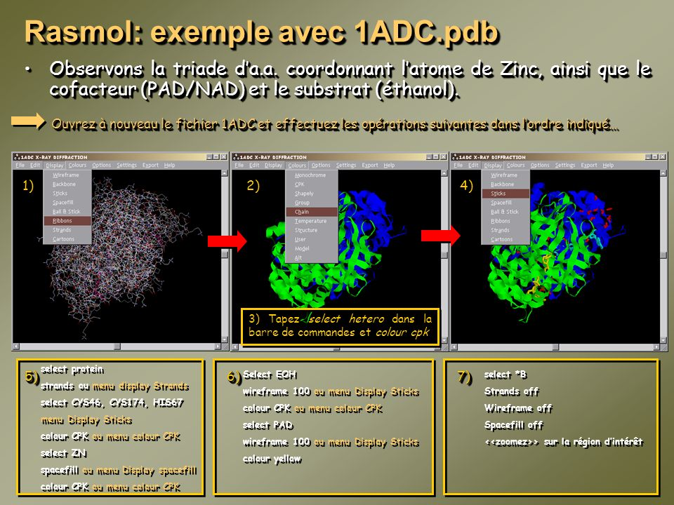 Rasmol: exemple avec 1ADC.pdb