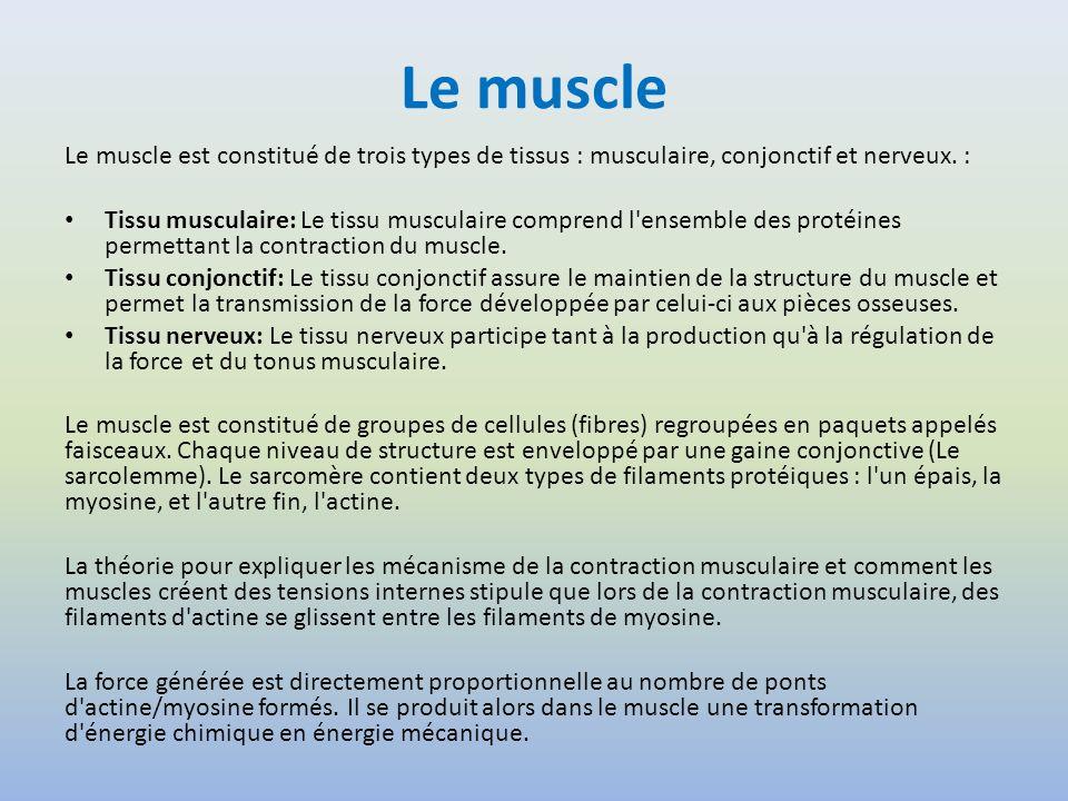 Le muscle Le muscle est constitué de trois types de tissus : musculaire, conjonctif et nerveux. :