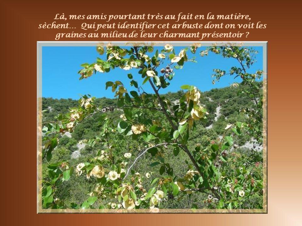 Là, mes amis pourtant très au fait en la matière, sèchent… Qui peut identifier cet arbuste dont on voit les graines au milieu de leur charmant présentoir