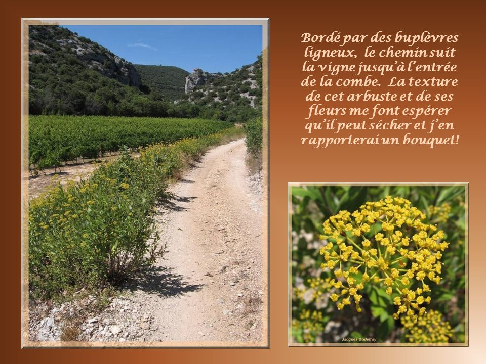 Bordé par des buplèvres ligneux, le chemin suit la vigne jusqu'à l'entrée de la combe.