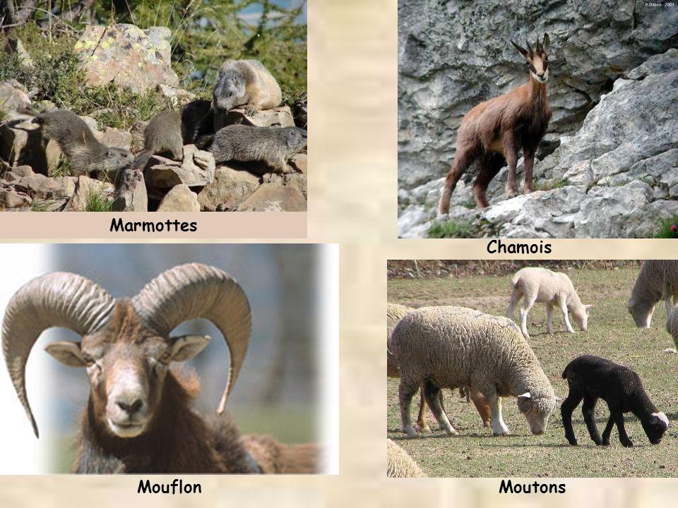 Marmottes Chamois Mouflon Moutons