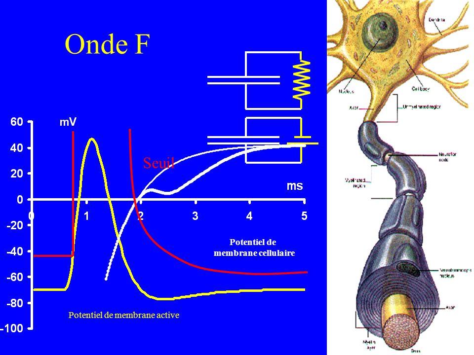 Potentiel de membrane active