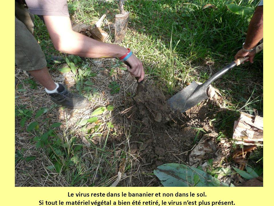 Le virus reste dans le bananier et non dans le sol.