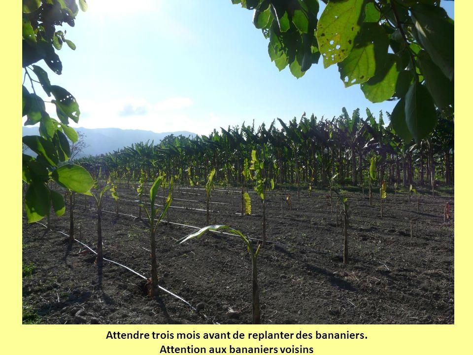 Attendre trois mois avant de replanter des bananiers.