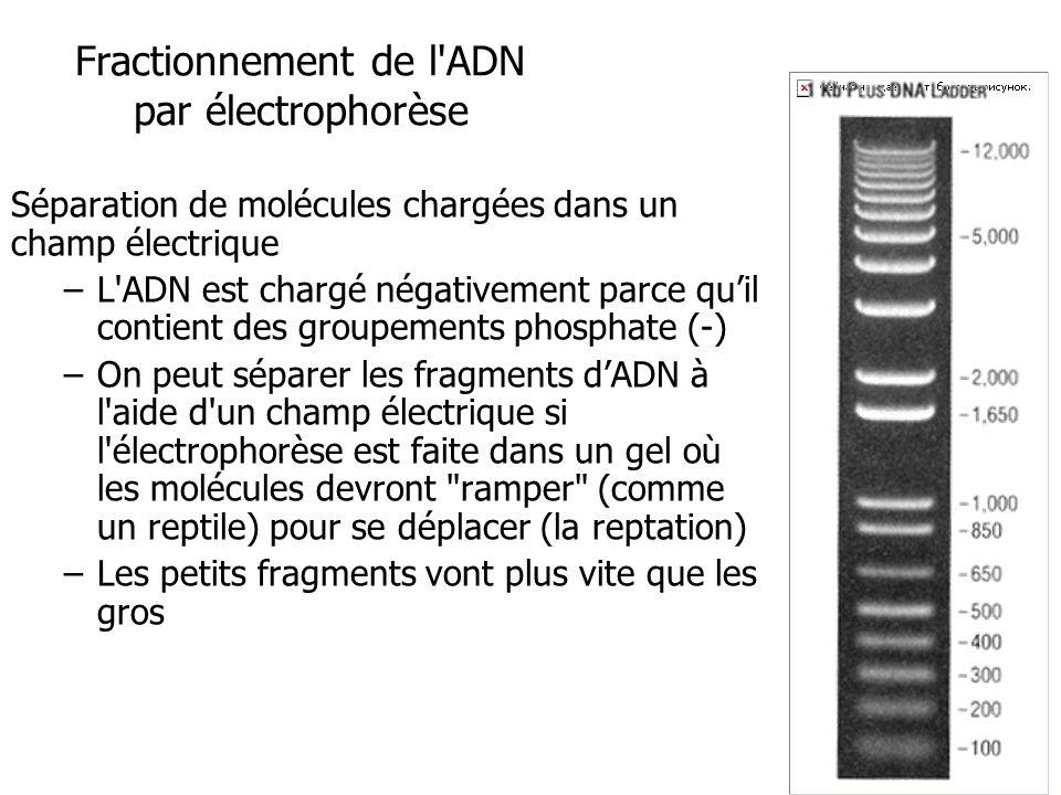 Fractionnement de l ADN par électrophorèse