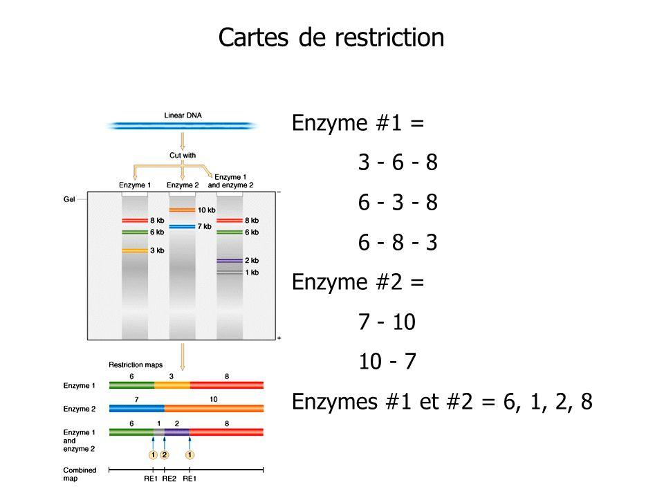 Cartes de restriction Enzyme #1 = 3 - 6 - 8 6 - 3 - 8 6 - 8 - 3