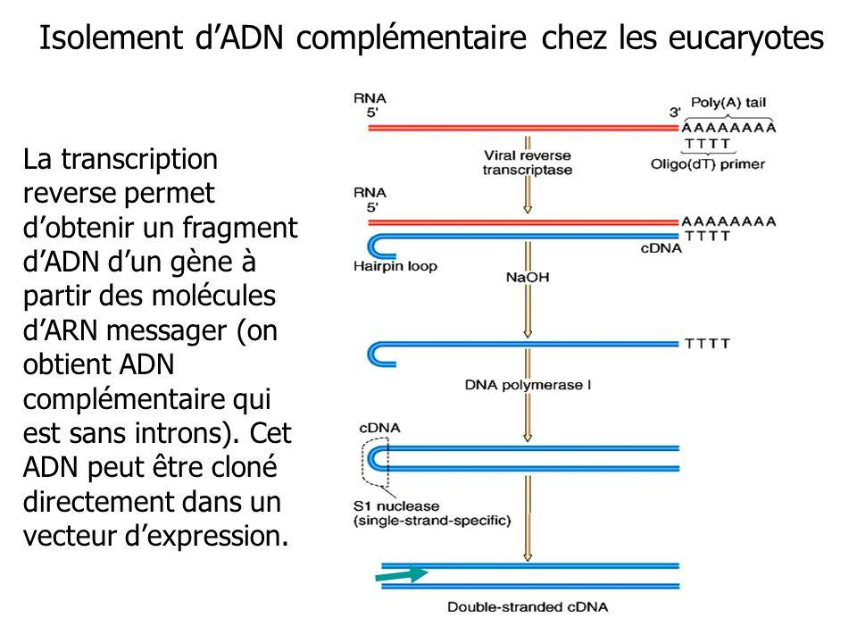 Isolement d'ADN complémentaire chez les eucaryotes