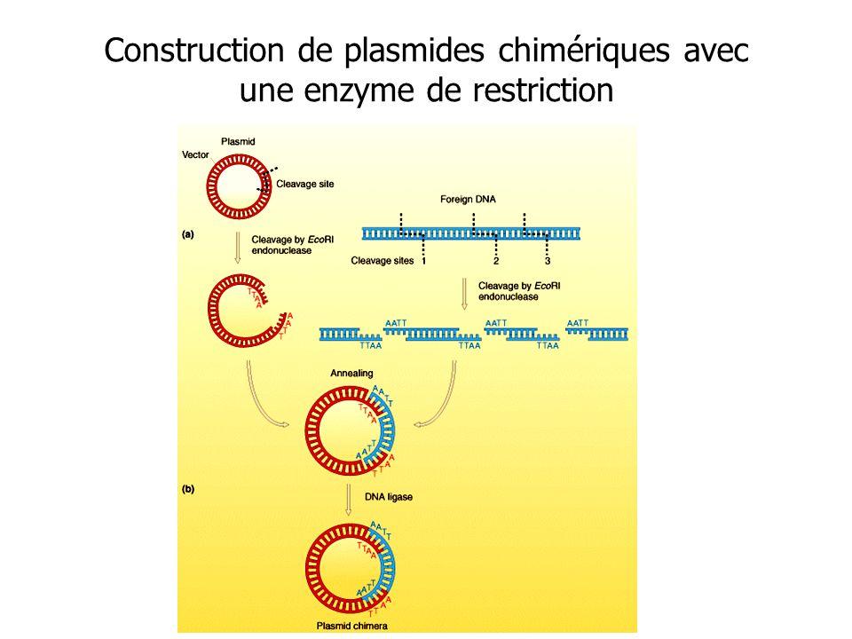 Construction de plasmides chimériques avec une enzyme de restriction
