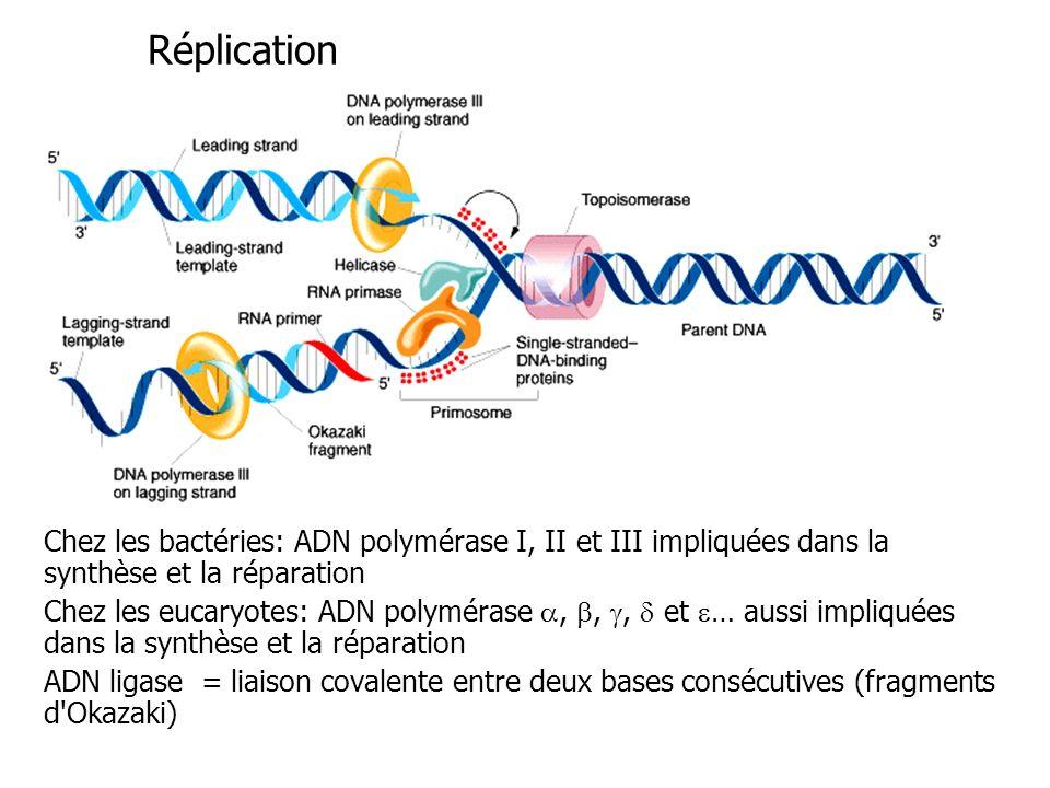 Réplication Chez les bactéries: ADN polymérase I, II et III impliquées dans la synthèse et la réparation.