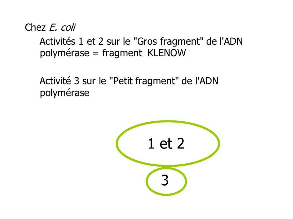 Chez E. coli Activités 1 et 2 sur le Gros fragment de l ADN polymérase = fragment KLENOW. Activité 3 sur le Petit fragment de l ADN polymérase.