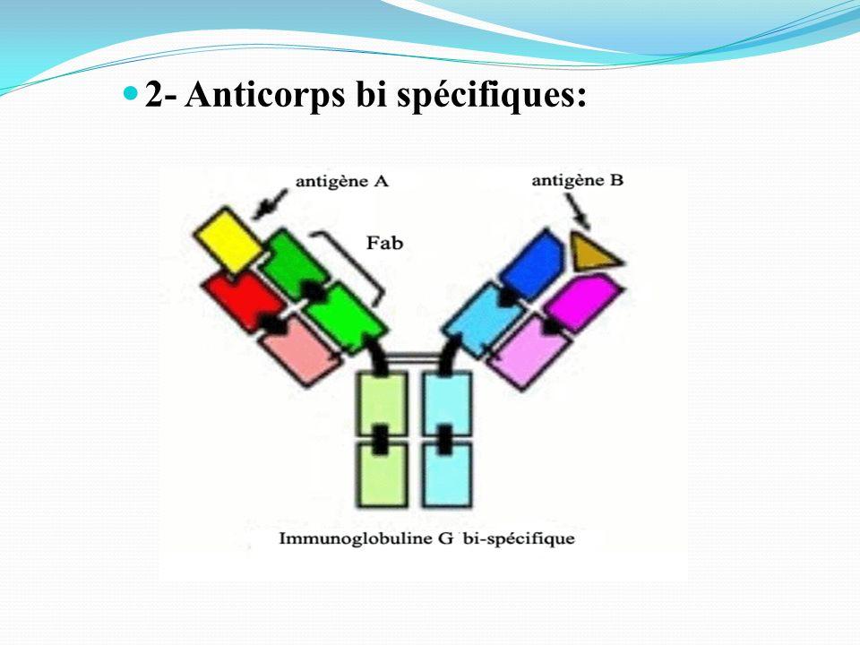 2- Anticorps bi spécifiques: