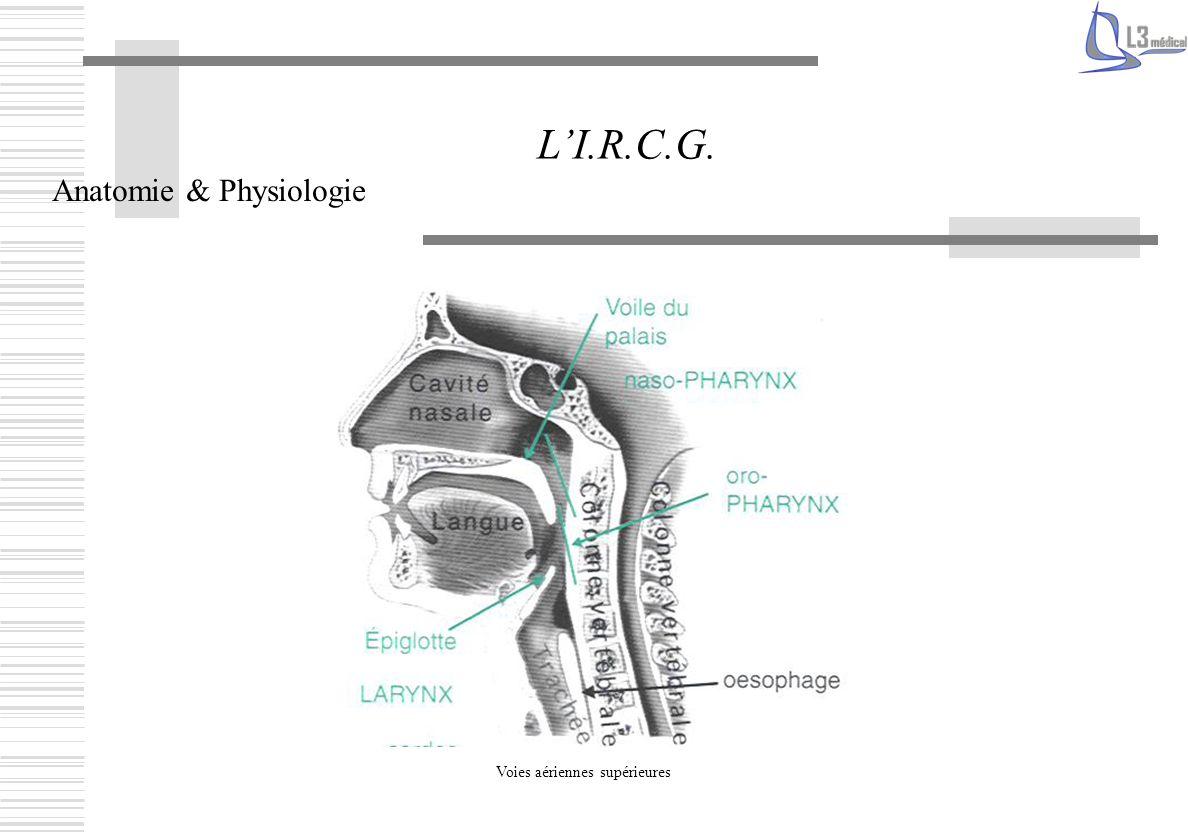 L'I.R.C.G. Anatomie & Physiologie Voies aériennes supérieures
