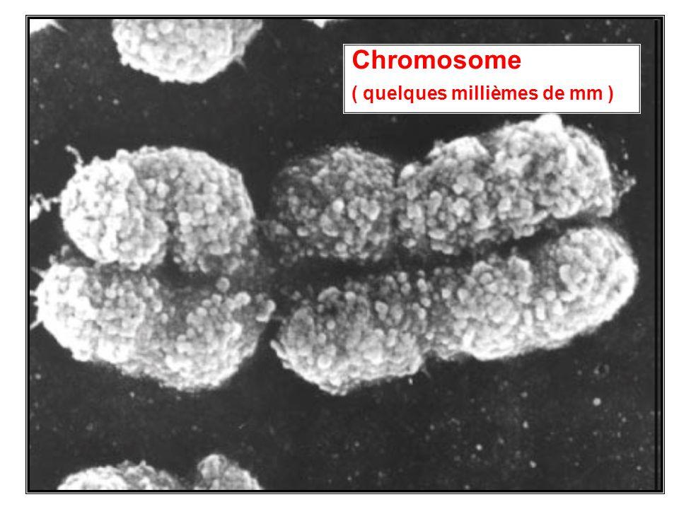 Chromosome ( quelques millièmes de mm )