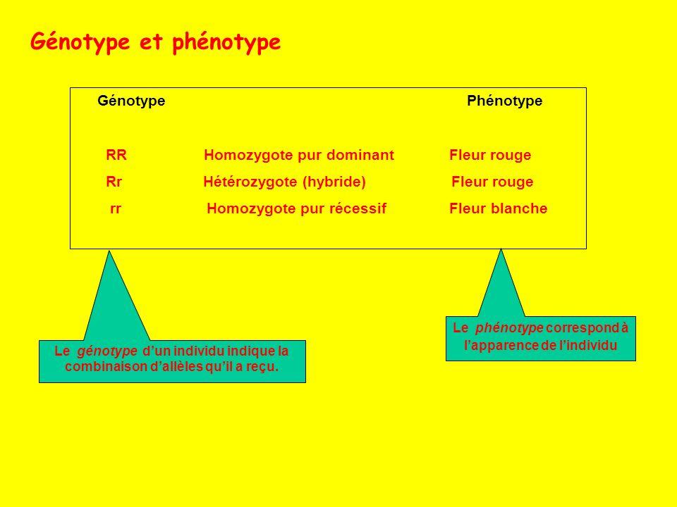 Le phénotype correspond à l'apparence de l'individu