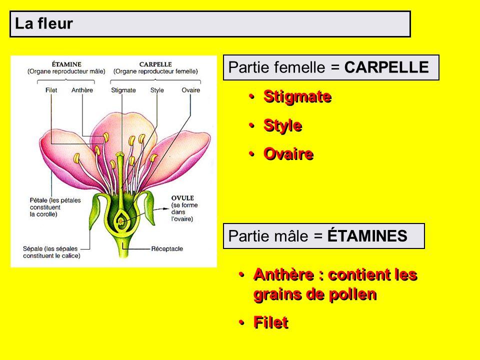 La fleur Partie femelle = CARPELLE. Stigmate. Style. Ovaire. L ovaire contient un ou plusieurs ovules.