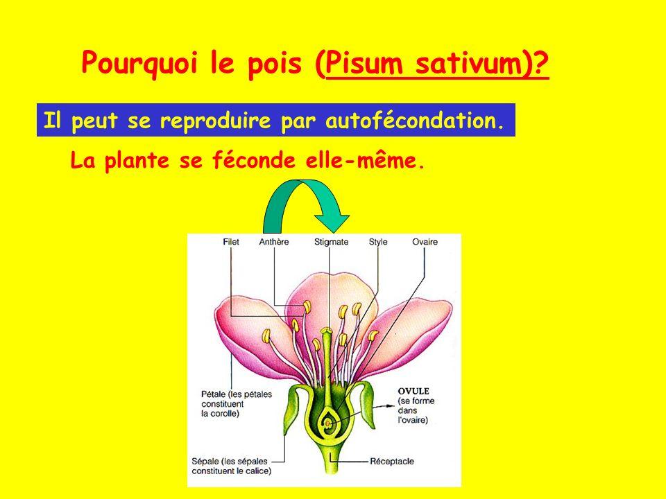 Pourquoi le pois (Pisum sativum)