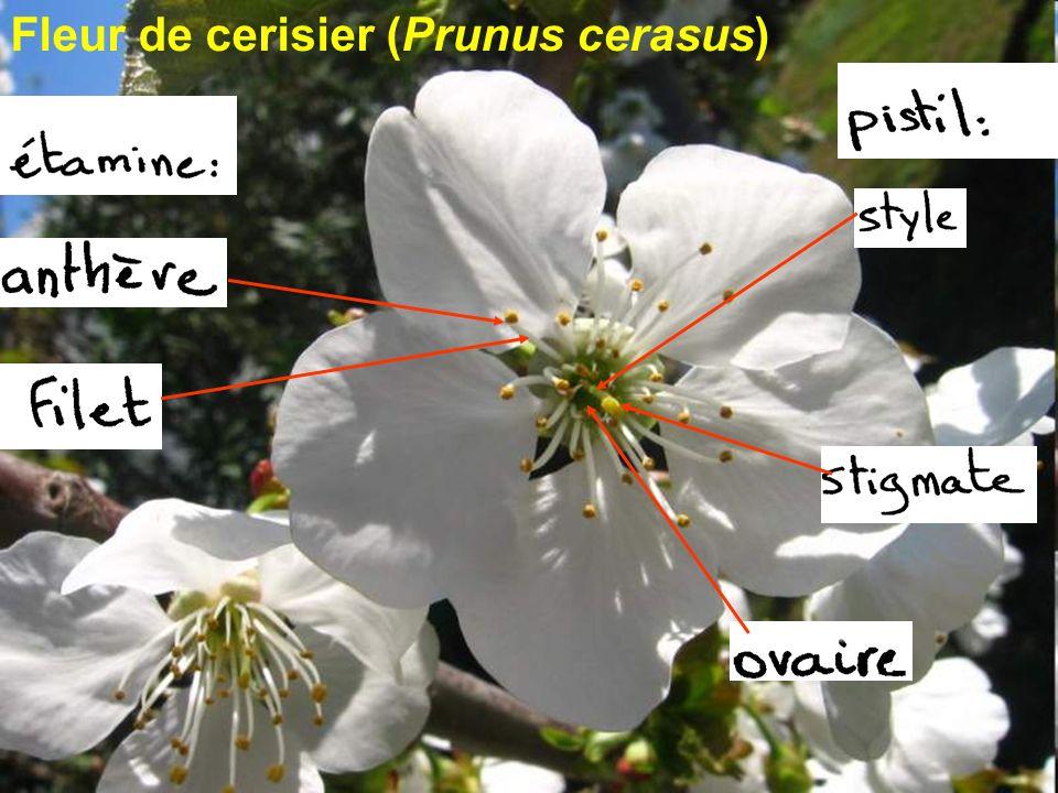 Fleur de cerisier (Prunus cerasus)