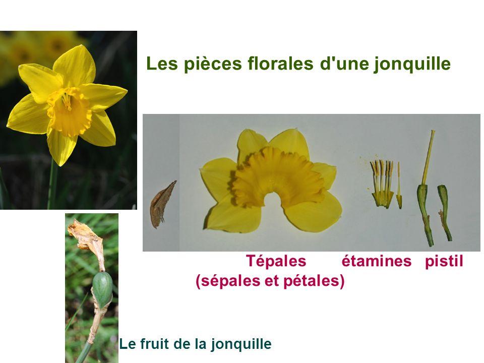 Les pièces florales d une jonquille