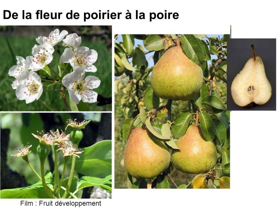 De la fleur de poirier à la poire