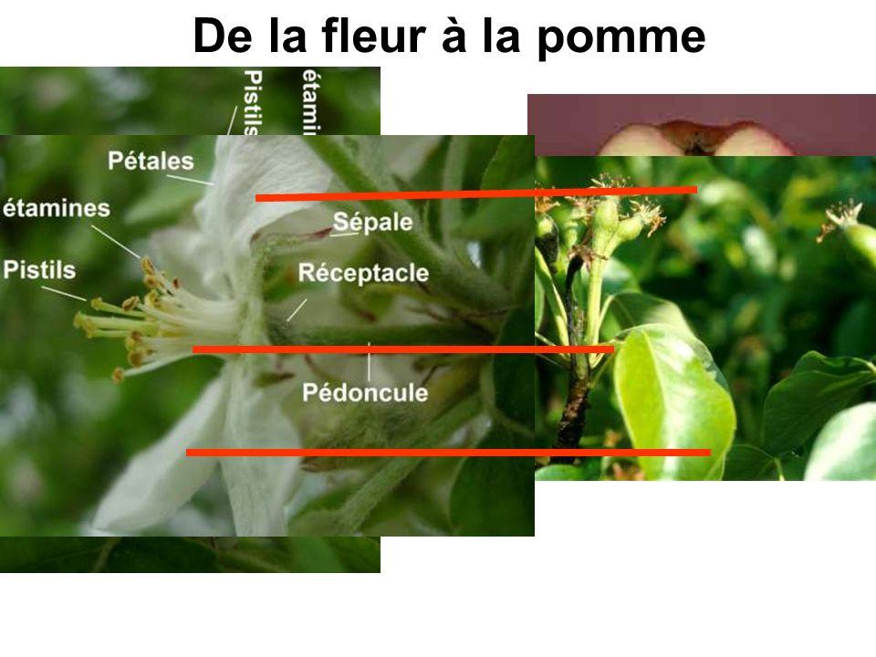 De la fleur à la pomme
