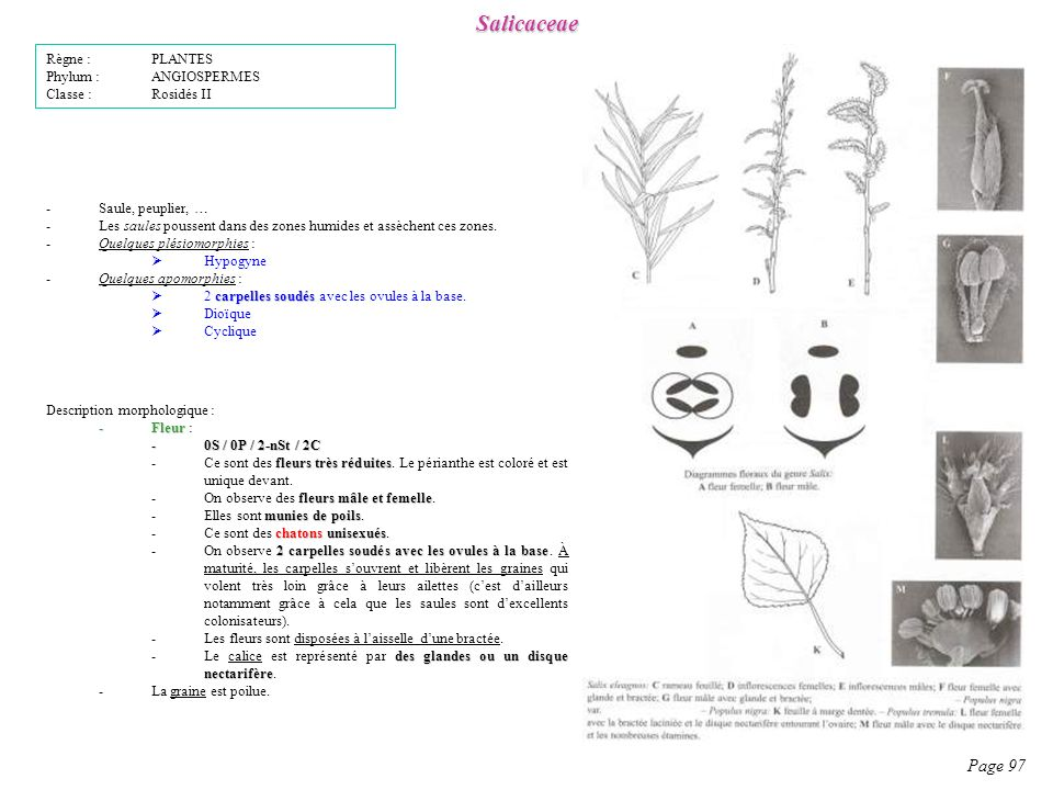 Salicaceae Page 97 Règne : PLANTES Phylum : ANGIOSPERMES