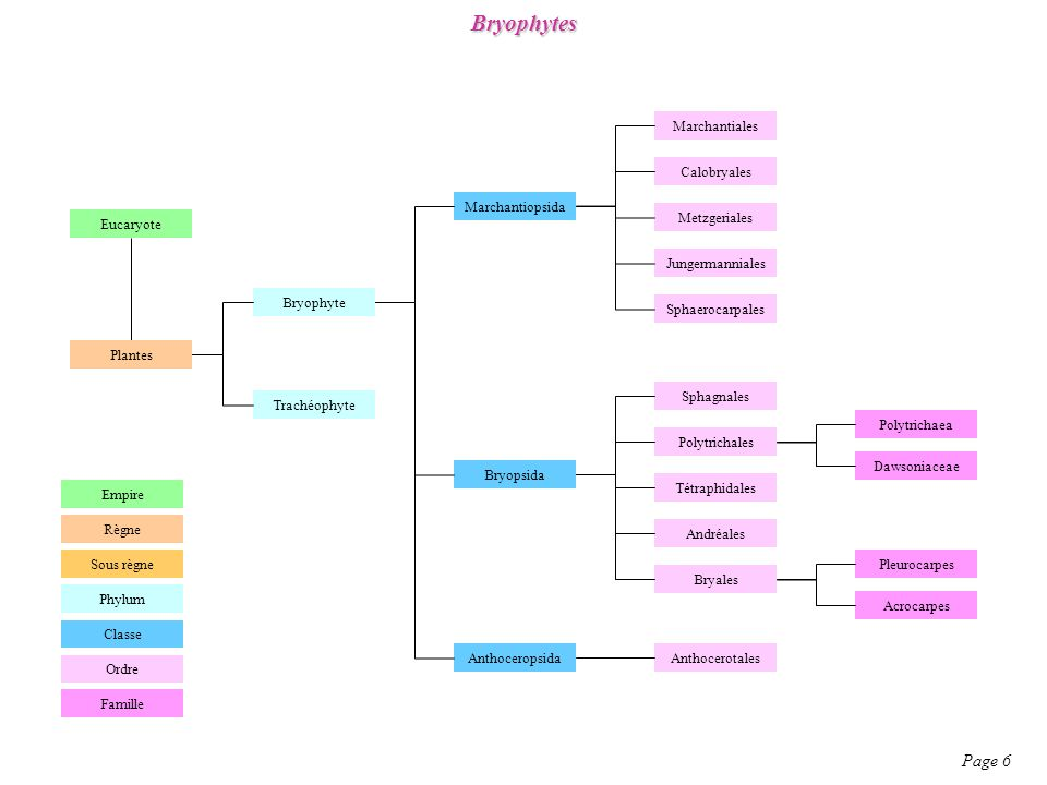 Bryophytes Page 6 Marchantiales Calobryales Marchantiopsida Eucaryote
