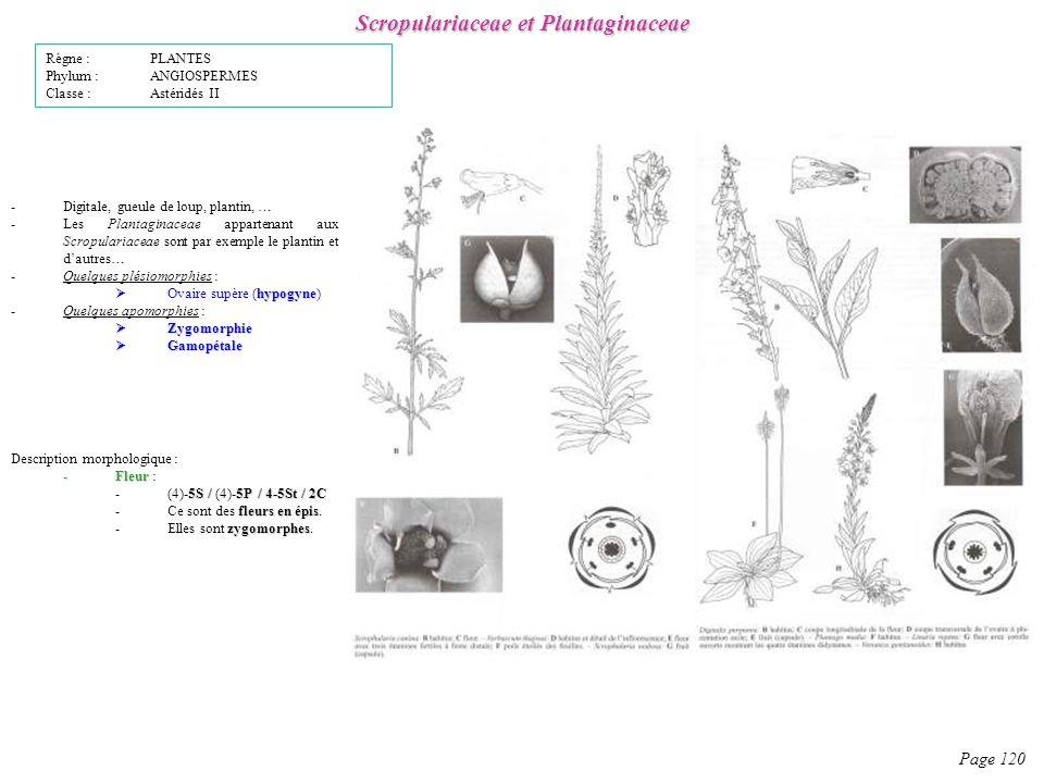 Scropulariaceae et Plantaginaceae