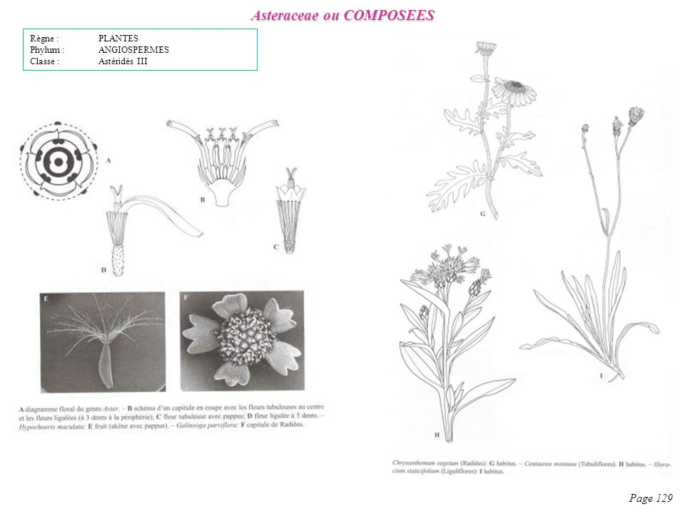 Asteraceae ou COMPOSEES