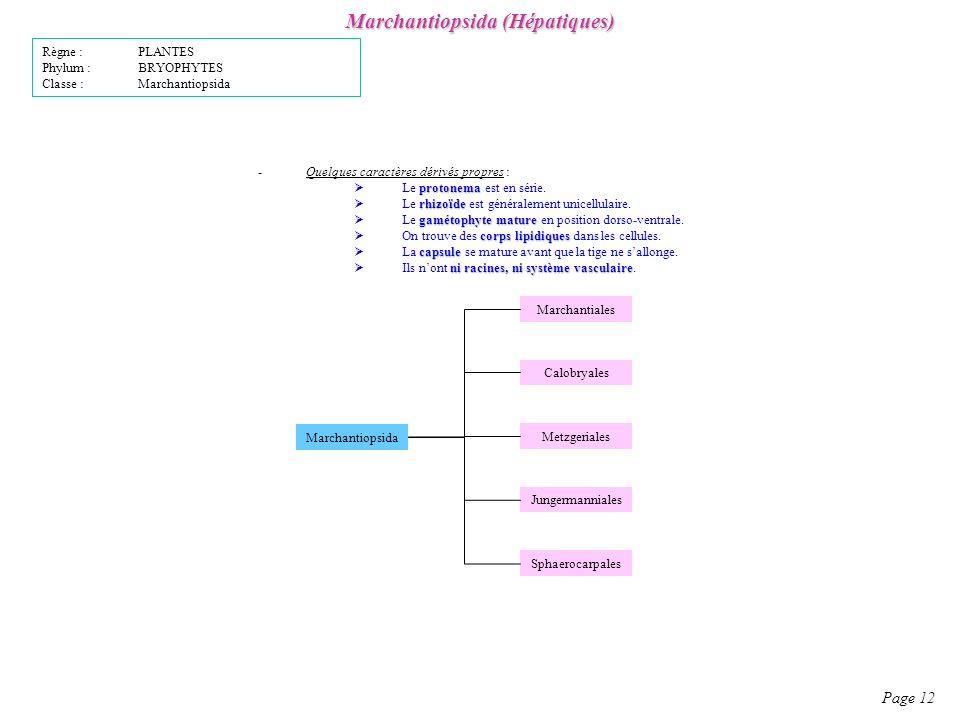 Marchantiopsida (Hépatiques)