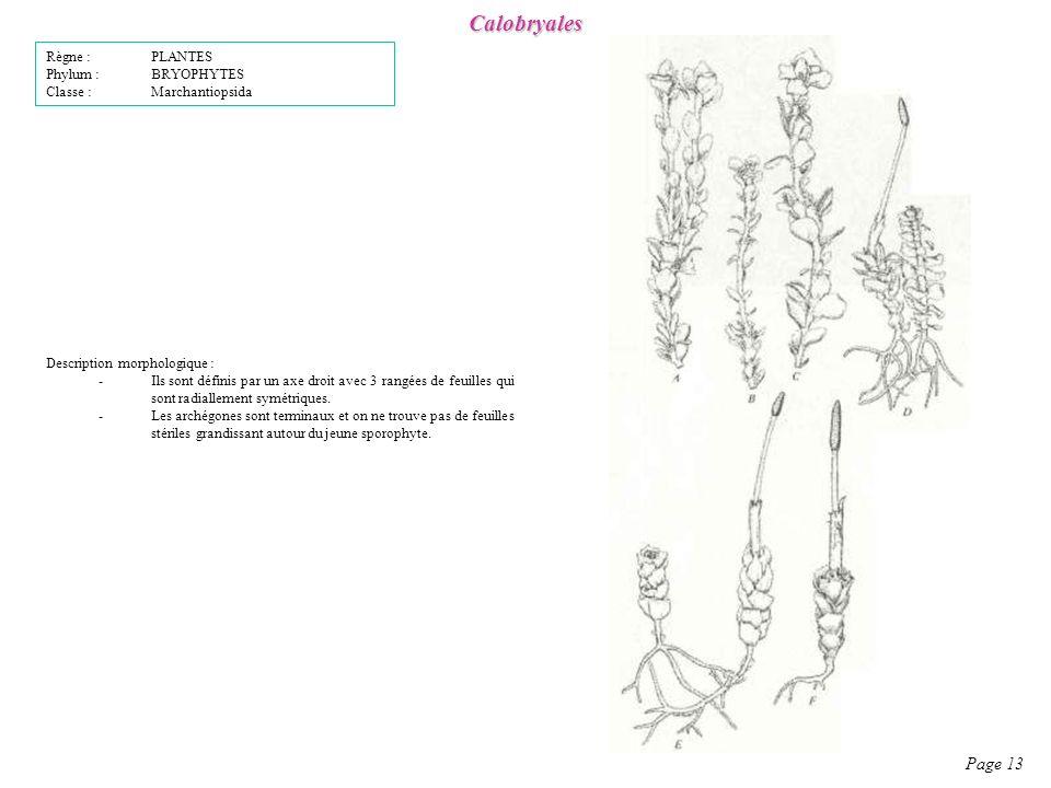 Calobryales Page 13 Règne : PLANTES Phylum : BRYOPHYTES