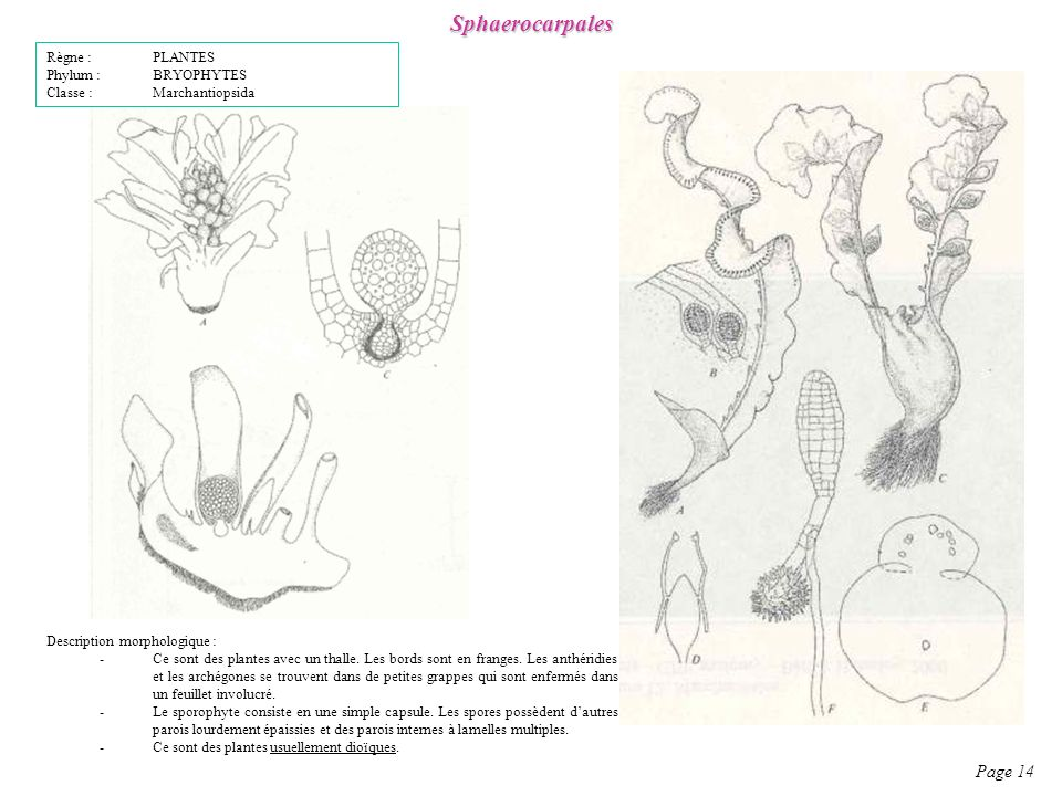 Sphaerocarpales Page 14 Règne : PLANTES Phylum : BRYOPHYTES
