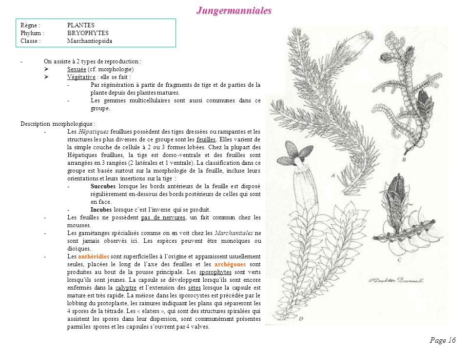 Jungermanniales Page 16 Règne : PLANTES Phylum : BRYOPHYTES