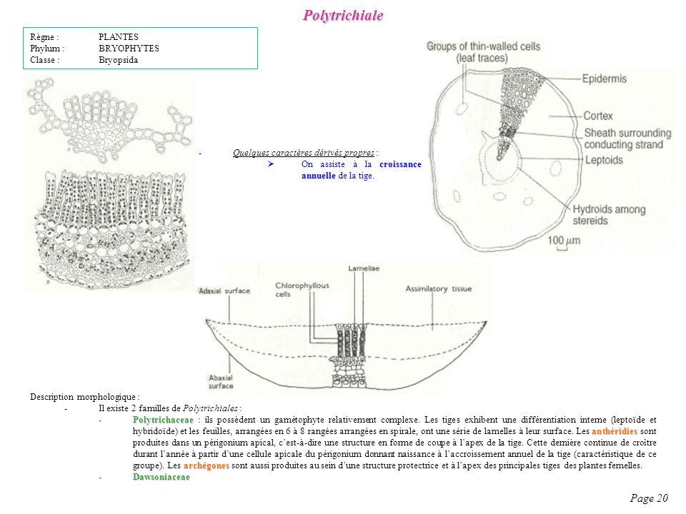 Polytrichiale Page 20 Règne : PLANTES Phylum : BRYOPHYTES