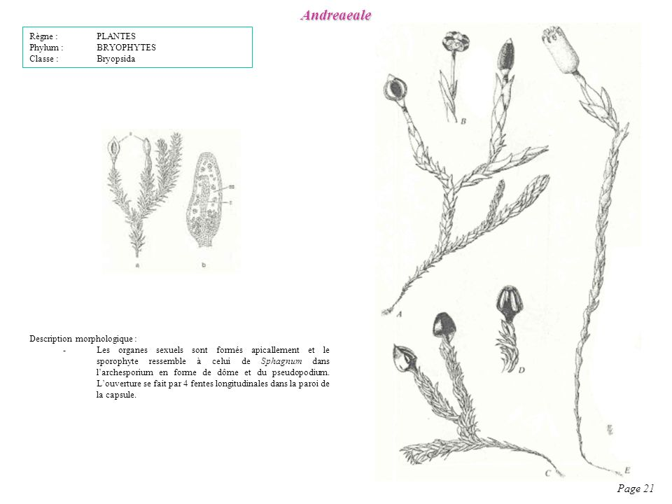Andreaeale Page 21 Règne : PLANTES Phylum : BRYOPHYTES