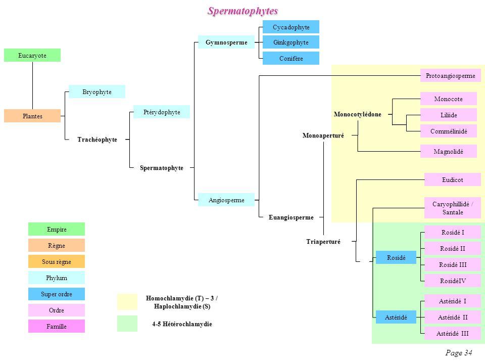 Homochlamydie (T) – 3 / Haplochlamydie (S)
