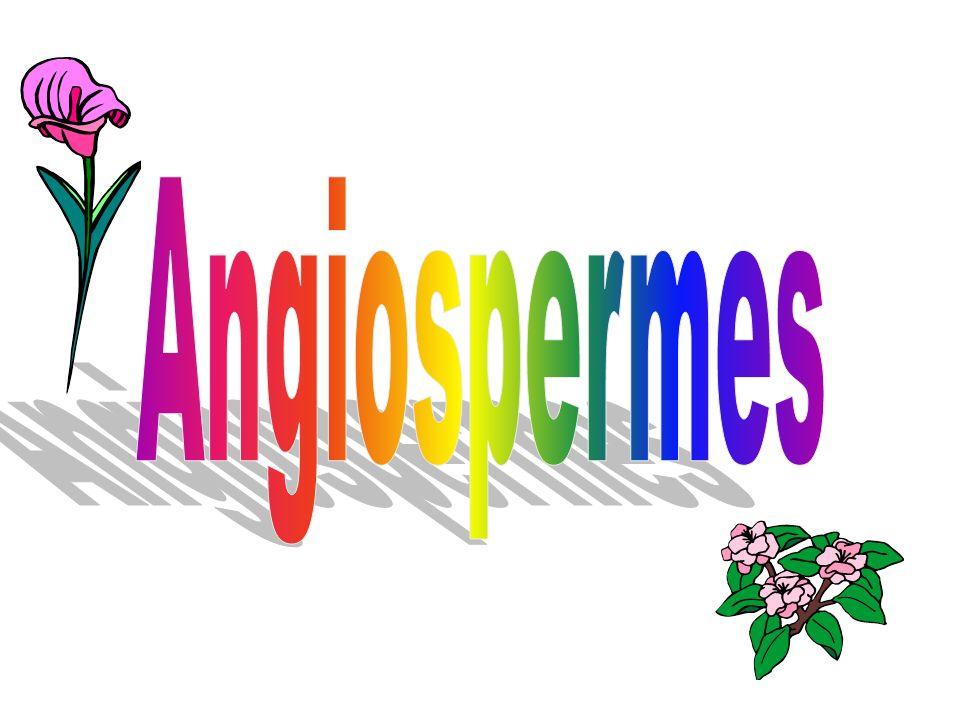 Angiospermes