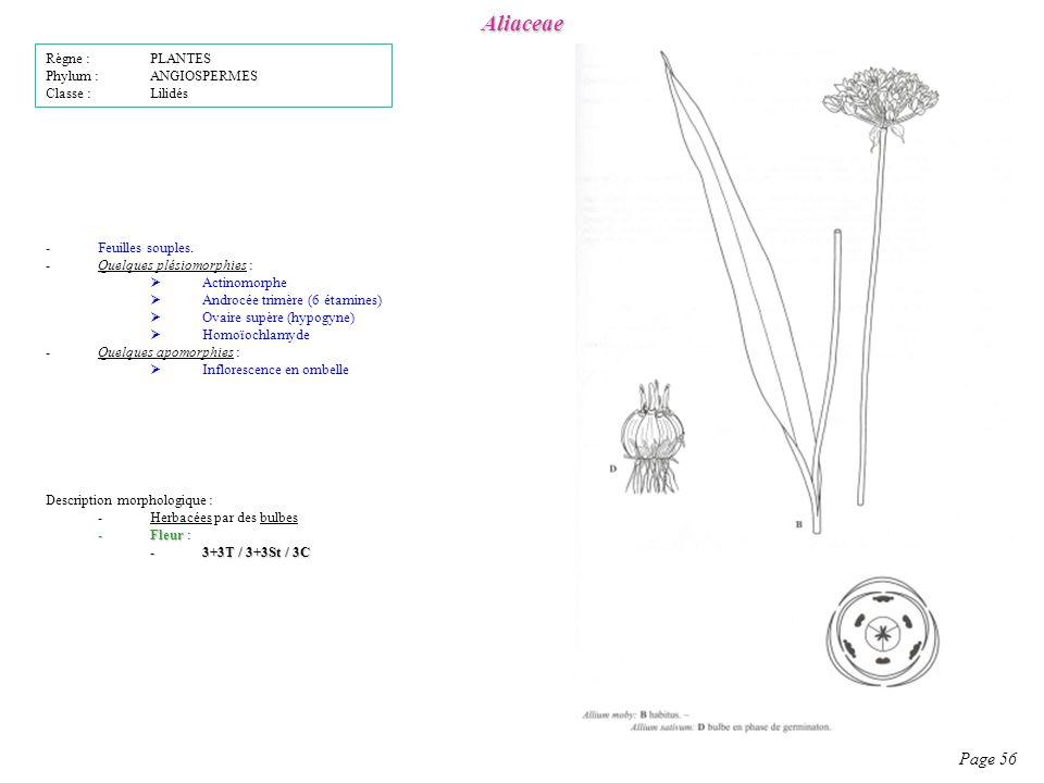 Aliaceae Page 56 Règne : PLANTES Phylum : ANGIOSPERMES