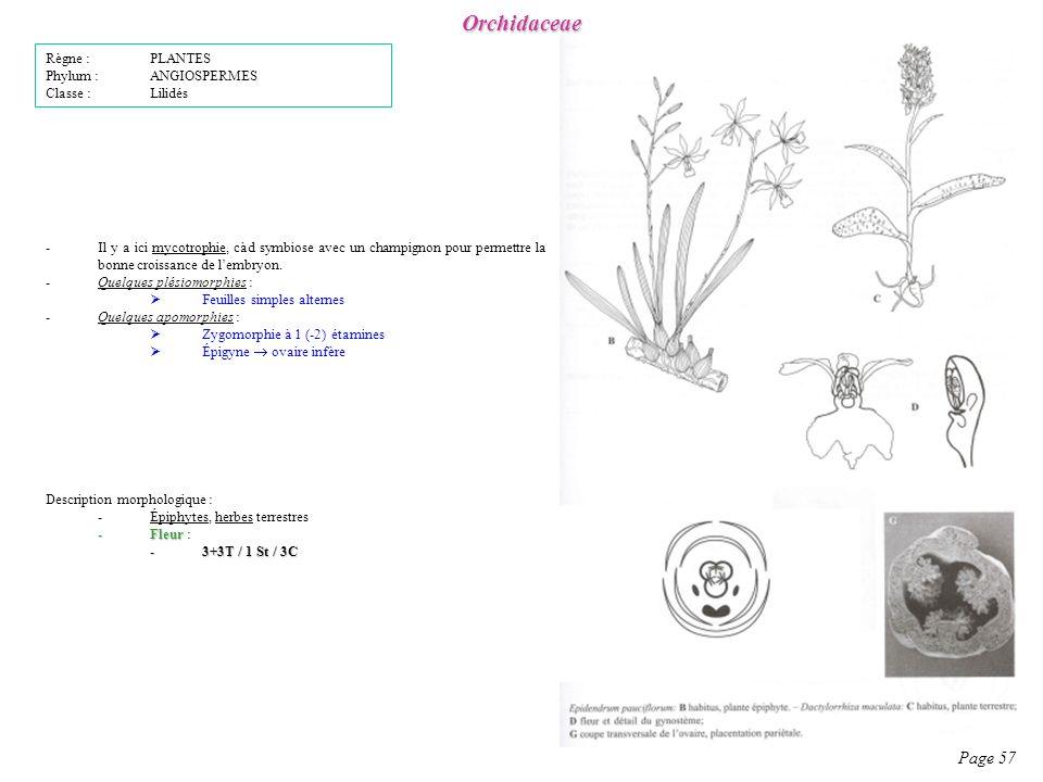 Orchidaceae Page 57 Règne : PLANTES Phylum : ANGIOSPERMES