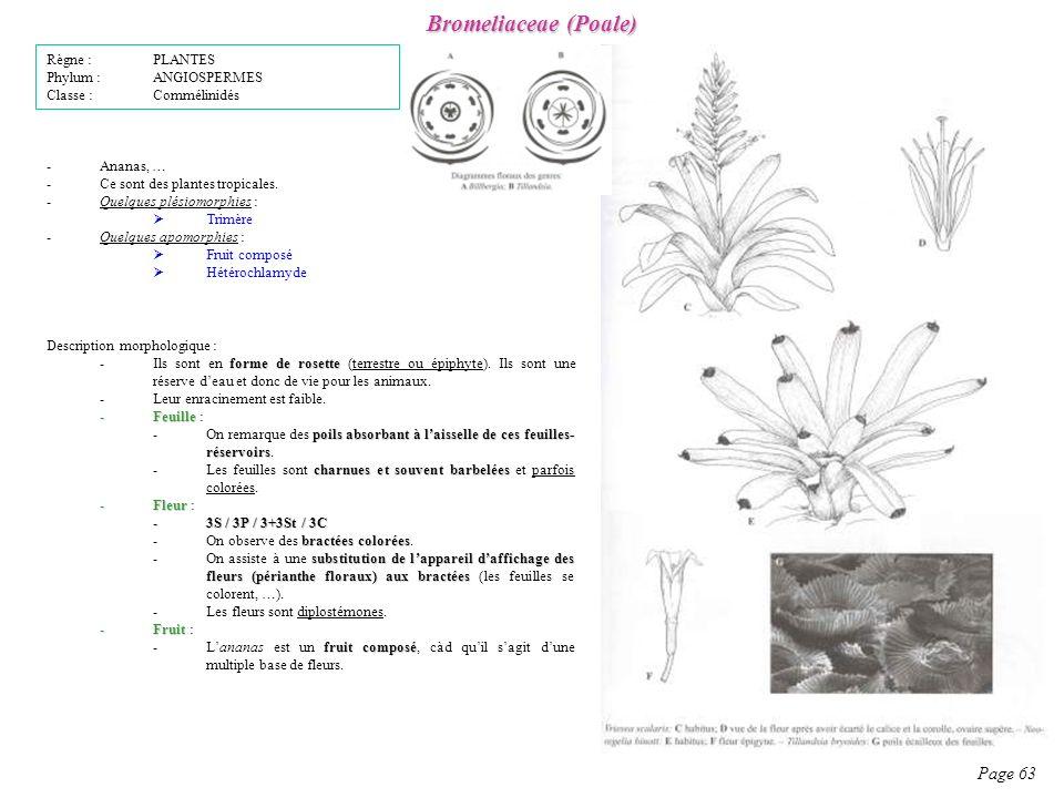 Bromeliaceae (Poale) Page 63 Règne : PLANTES Phylum : ANGIOSPERMES