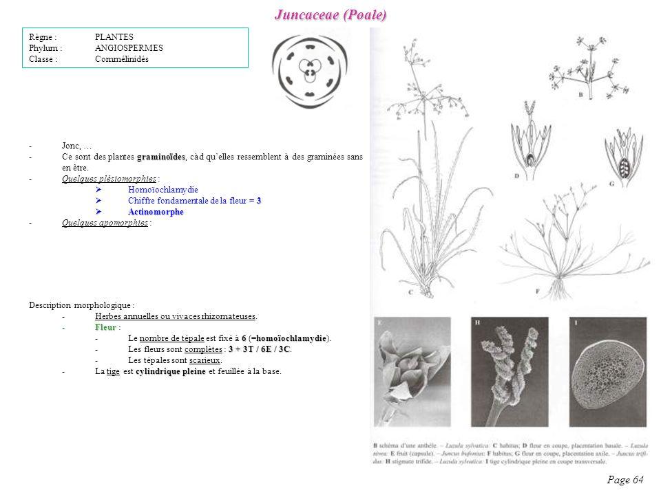Juncaceae (Poale) Page 64 Règne : PLANTES Phylum : ANGIOSPERMES