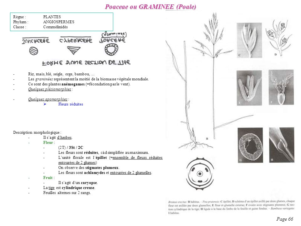 Poaceae ou GRAMINEE (Poale)