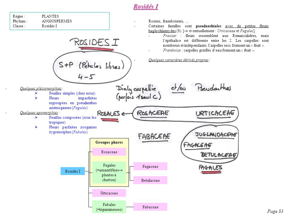 Rosidés I Page 83 Règne : PLANTES Phylum : ANGIOSPERMES