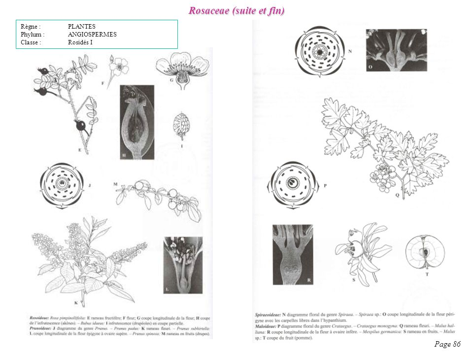 Rosaceae (suite et fin)