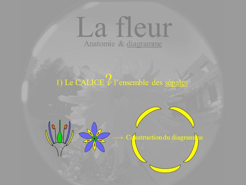 La fleur Anatomie & diagramme 1) Le CALICE = l'ensemble des sépales