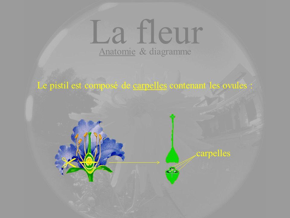 Le pistil est composé de carpelles contenant les ovules :