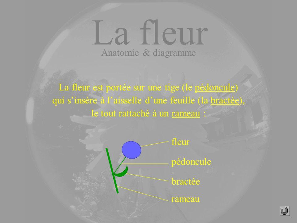 La fleur Anatomie & diagramme
