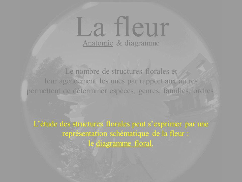 La fleur Anatomie & diagramme Le nombre de structures florales et