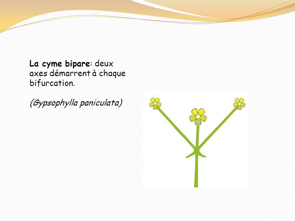 La cyme bipare: deux axes démarrent à chaque bifurcation.