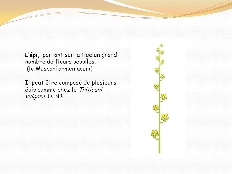 L'épi, portant sur la tige un grand nombre de fleurs sessiles.